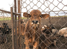 Captive calf behind the fence Stock Images