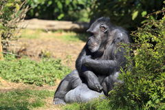 Captive Chimpanzee. A Chimpanzee at Chester Zoo stock photography