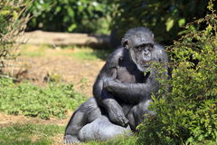 Captive Chimpanzee. A Chimpanzee at Chester Zoo royalty free stock images