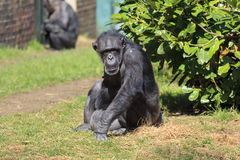 Captive Chimpanzee. A Chimpanzee at Chester Zoo stock images