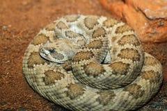 Captive crotalusviridis Royaltyfri Fotografi