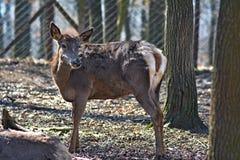 Captive deer. Deer in captivity awaiting feeding Royalty Free Stock Images