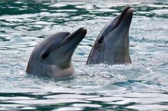 Captive Dolphins Stock Image