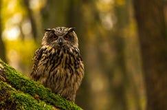 An eurasian eagle owl Stock Images