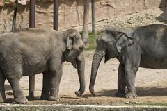 Captive Elephants. In a zoo park in Spain Royalty Free Stock Photo