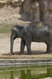 Captive Elephants. In a zoo park in Spain stock image