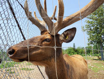 Captive elk looking through fence Royalty Free Stock Photo