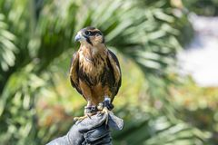 Captive Falconer`s Aplomodo Falcon Falco femoralis Held by His Owner in Mexico. Captive Falconer`s Aplomodo Falcon Falco femoralis Perched & Ready to Fly at a stock image