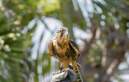 Captive Falconer`s Aplomodo Falcon Falco femoralis Perched on the Falconer`s Hand. Captive Falconer`s Aplomodo Falcon Falco femoralis Perched & Ready to Fly at a royalty free stock images