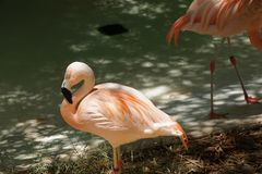 Captive flamingo Stock Photography