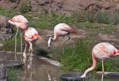 Captive Flamingos Feeding Stock Images