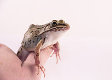 Captive frog Stock Image