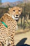 Captive gepard Royaltyfri Fotografi