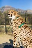 Captive gepard Arkivfoton