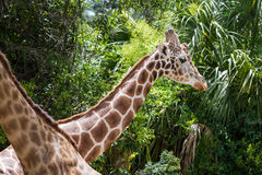 Captive giraffe Stock Photos
