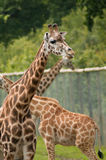 Captive giraffes. Three captive giraffes surrounded by high fencing Royalty Free Stock Images