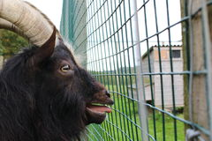 The captive goat. A captive goat screaming to be freed from his cage stock photos