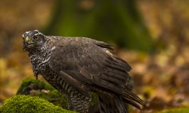 A goshawk. A captive  goshawk sits on ground of a  forest during autumn . Southern Slovakia Stock Photos