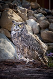 Captive great horned owl. Stock Photography