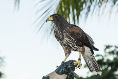 Captive Harris's Hawk (Parabuteo unicinctus) Used for Falconry on a Mexican Resort. A Captive Harris's Hawk (Parabuteo unicinctus) Used for Falconry at a Resort Stock Images