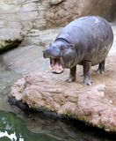 Captive Hippopotamus yawning or roaring in a Spanish zoo Stock Photo