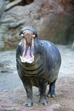 Captive Hippopotamus yawning or roaring in a Spanish zoo Stock Photos