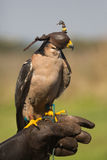 Captive lanner falcon Royalty Free Stock Images