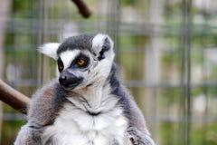 Captive Lemur. A captive lemur looks with curiosity at something happening off camera royalty free stock images