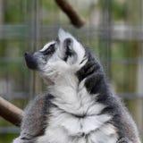 Captive Lemur. A captive lemur looks with curiosity at something happening off camera stock photo