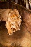 Captive Liger Stock Photo