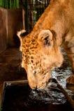 Captive Liger Royalty Free Stock Image