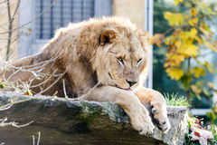 Captive lion resting on a rocky shelf. Captive lion in an exhibit in a zoo lying resting on a rocky shelf with his paws dangling over the edge Royalty Free Stock Image