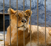 Captive lioness behind the fence of cage Royalty Free Stock Photo