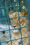 A captive lioness in a zoo. Lioness in a zoo behind bars. Can depict both the negative side of zoo-imprisonment or be used for general reference to zoos Royalty Free Stock Photography