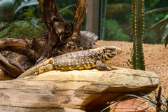 Captive lizard at a zoo basking in the sun Stock Photos