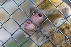 Captive macaque monkey. A captive macaque monkey behind a fence Royalty Free Stock Photography