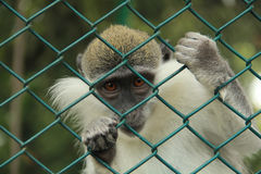 Captive monkey. A Prisoner monkey in zoo Stock Image