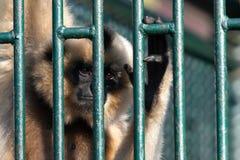 Captive monkey Stock Images