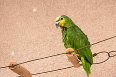 Captive Orange-winged Amazon parrot Royalty Free Stock Photos