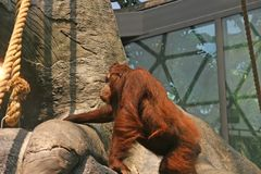 Captive Orangutan. Climbing rocks at a zoo Royalty Free Stock Image