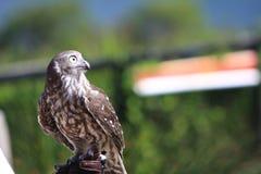 Captive owl Stock Photo