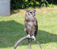 Captive owl on a perch. stock images