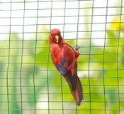 Captive parakeet. Red parakeet in a cage. Photo taken in Nassau zoo, Bahamas Royalty Free Stock Images