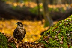 A Peregrine Falcon. A captive  Peregrine Falcon sits on ground of a  forest during autumn . Southern Slovakia Royalty Free Stock Photos