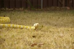Captive pet Albino python. A captive pet Albino python on the lawn in a backyard in rural Australia royalty free stock photo