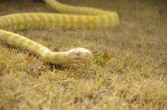 Captive pet Albino python. A captive pet Albino python on the lawn in a backyard in rural Australia royalty free stock photos