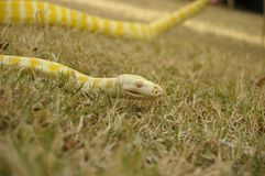 Captive pet Albino python. A captive pet Albino python on the lawn in a backyard in rural Australia royalty free stock images