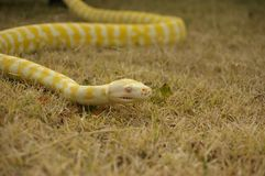 Captive pet Albino python. A captive pet Albino python on the lawn in a backyard in rural Australia stock photo