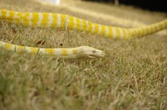 Captive pet Albino python. A captive pet Albino python on the lawn in a backyard in rural Australia stock image
