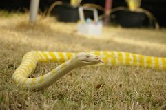 Captive pet Albino python. A captive pet Albino python on the lawn in a backyard in rural Australia stock images